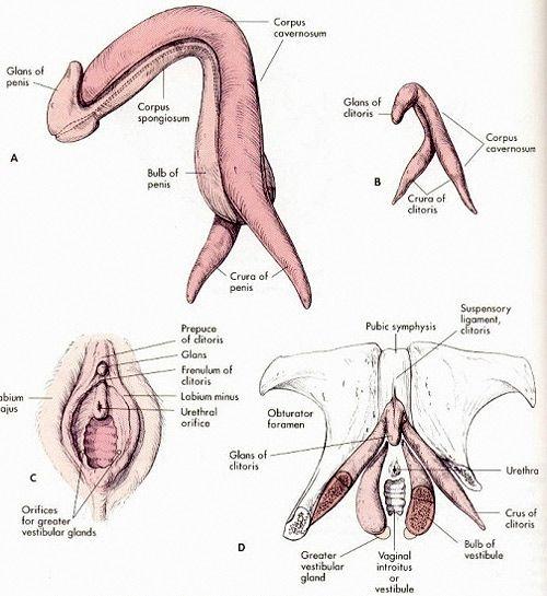 penis_clitoris zawiązki.jpg