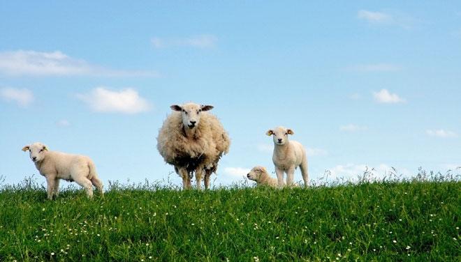 owca-660.jpg